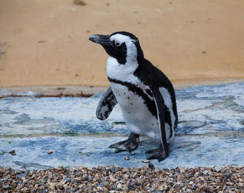 Douglas the African Penguin